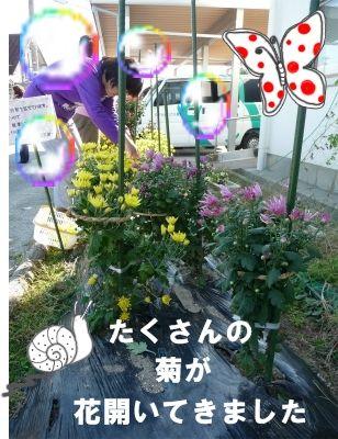 食用菊・今年初収穫!